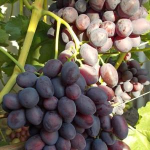 Виноград Бордовый (Бордовая мантия)
