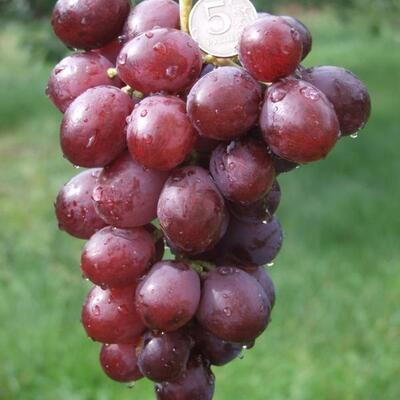 Виноград Лада Т