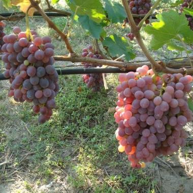 Виноград Тайфи розовый