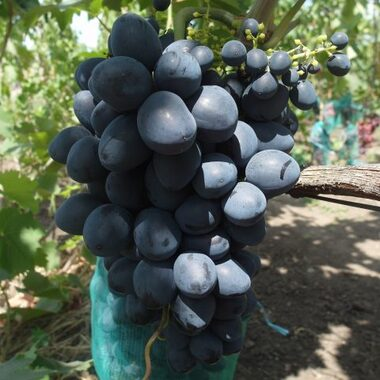 Виноград Краса Балок