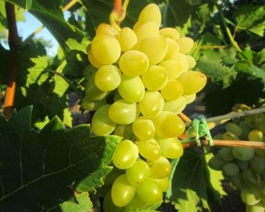 Виноград Церковные Колокола