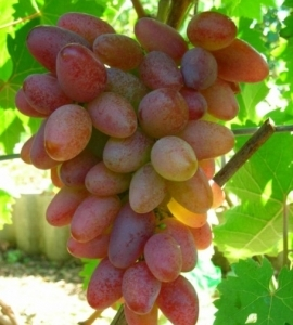 Виноград Переяславская Рада