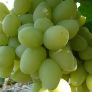 Виноград Миллениум