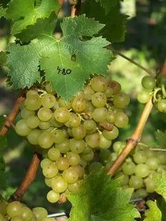 Виноград Жемчужина