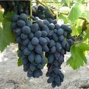 Виноград Грек