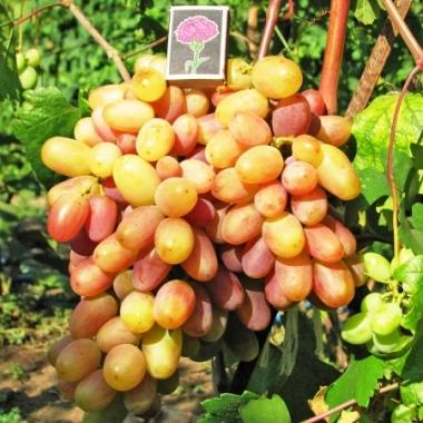Виноград Виктор 3