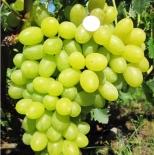 Виноград Вива Айка