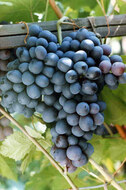 Виноград Восторг чёрный
