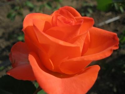 Роза чайно-гибридная Вуду/Voodoo