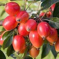 Райская яблоня Джон Дауни