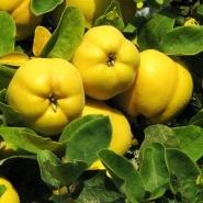 Айва яблоковидная