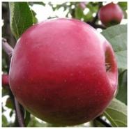 Яблоня Секаи-ши