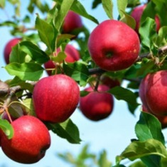Яблоня колоновидная Сильвер Рива
