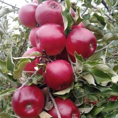 Яблоня Макинтош (Канада)