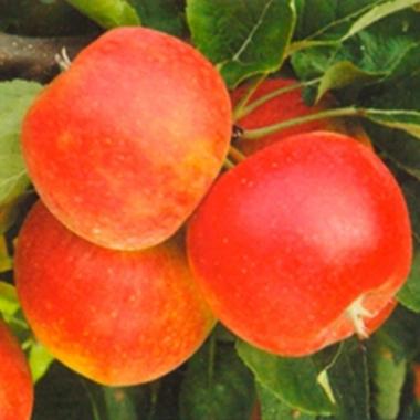 Яблоня Рубин Степ (Чехия)
