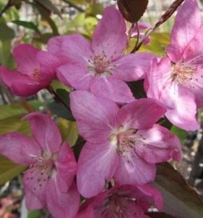 Яблоня декоративная Ола