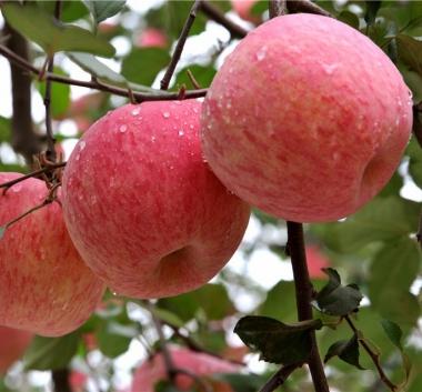Яблоня Фуджи (Италия)