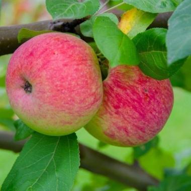 Яблоня Мельба (Канада)