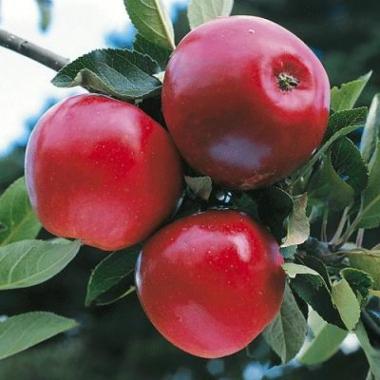 Яблоня Катя