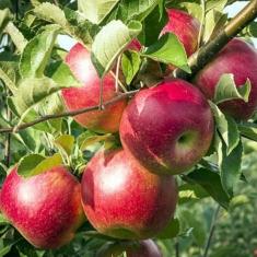 Яблоня Ревена слаборослое