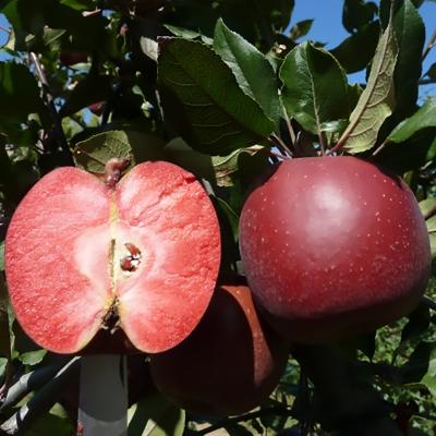 Яблоня красномясая Тринити