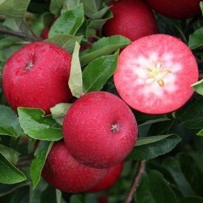 Яблоня красномясая Байя Мариса