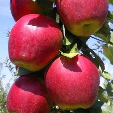 Яблоня Моди (Италия)