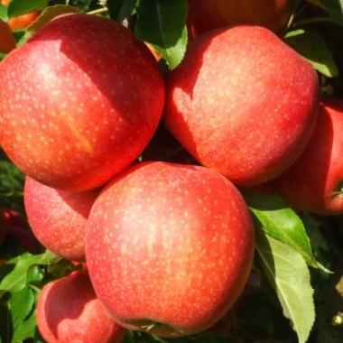 Яблоня Гала (Новая Зеландия)