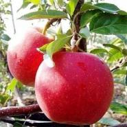 Яблоня Гала Маст XL (зимнее)