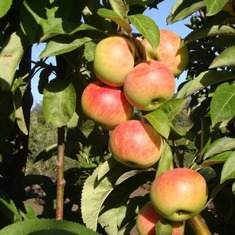 Яблоня колоновидная Крымская