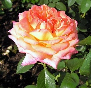 Роза чайно-гибридная Янки Дудль\Yankee Doodle