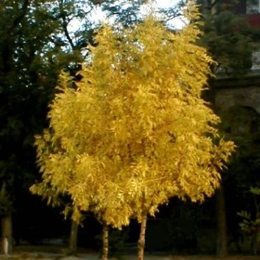 """Ясень обыкновенный золотолистный (""""Golden Desert"""")"""