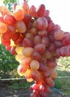 Виноград кишмиш Юпитер (Реа)