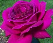 Роза ч/г Юрианда