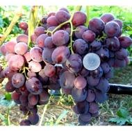 Виноград Заря Несветая