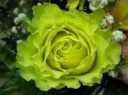 Роза ч/г Зеленая планета