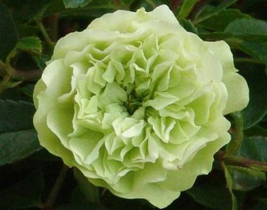 Роза бордюрная, спрей  Зелёный лед