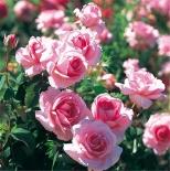 Роза чайно-гибридная Жардин де Вилландри/Jardins de Villandry