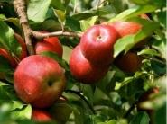 Яблоня Женева Эрли (США) (летнее)