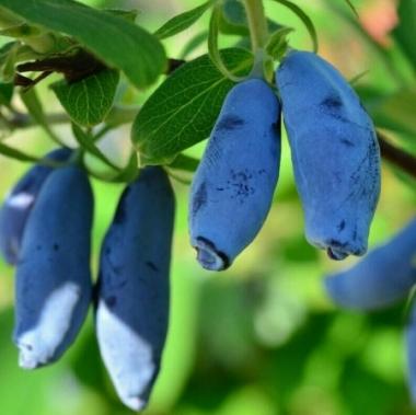 Жимолость съедобная Голубое веретено