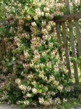 Жимолость каприфоль \ Lonicera caprifolium