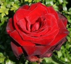 Роза чайно-гибридная Зоммердуфт